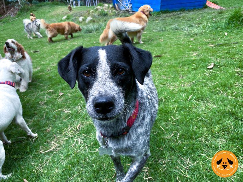 escuela de obediencia canina en cajicá con ejercicios basicos gimnasio canino campestre