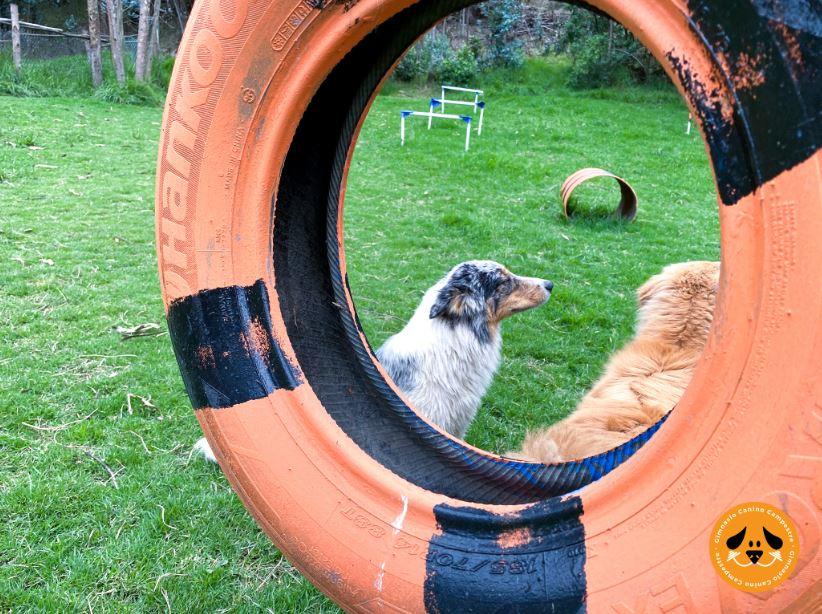 Juegos de perros en Gimnasio Canino Campestre