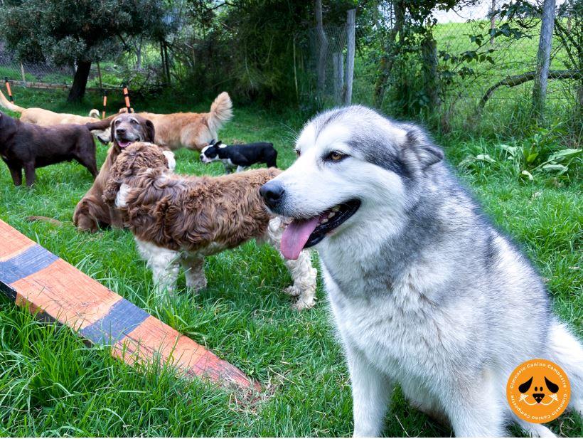 obediencia canina básica gimnasio canino campestre