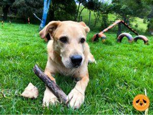 escuela de obediencia canina gimnasio canino campestre